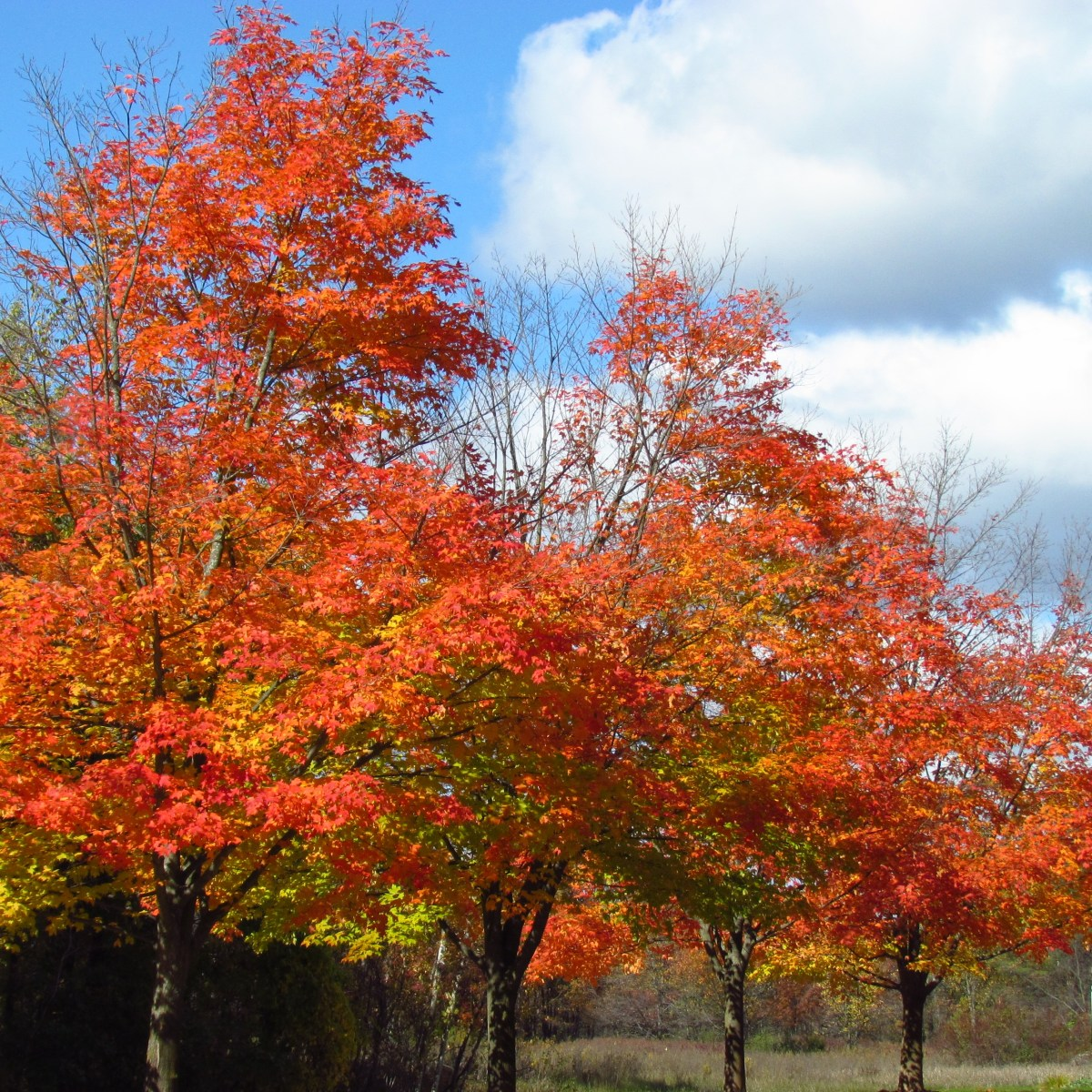 A row of tall trees with orange and yellow autumn leaves