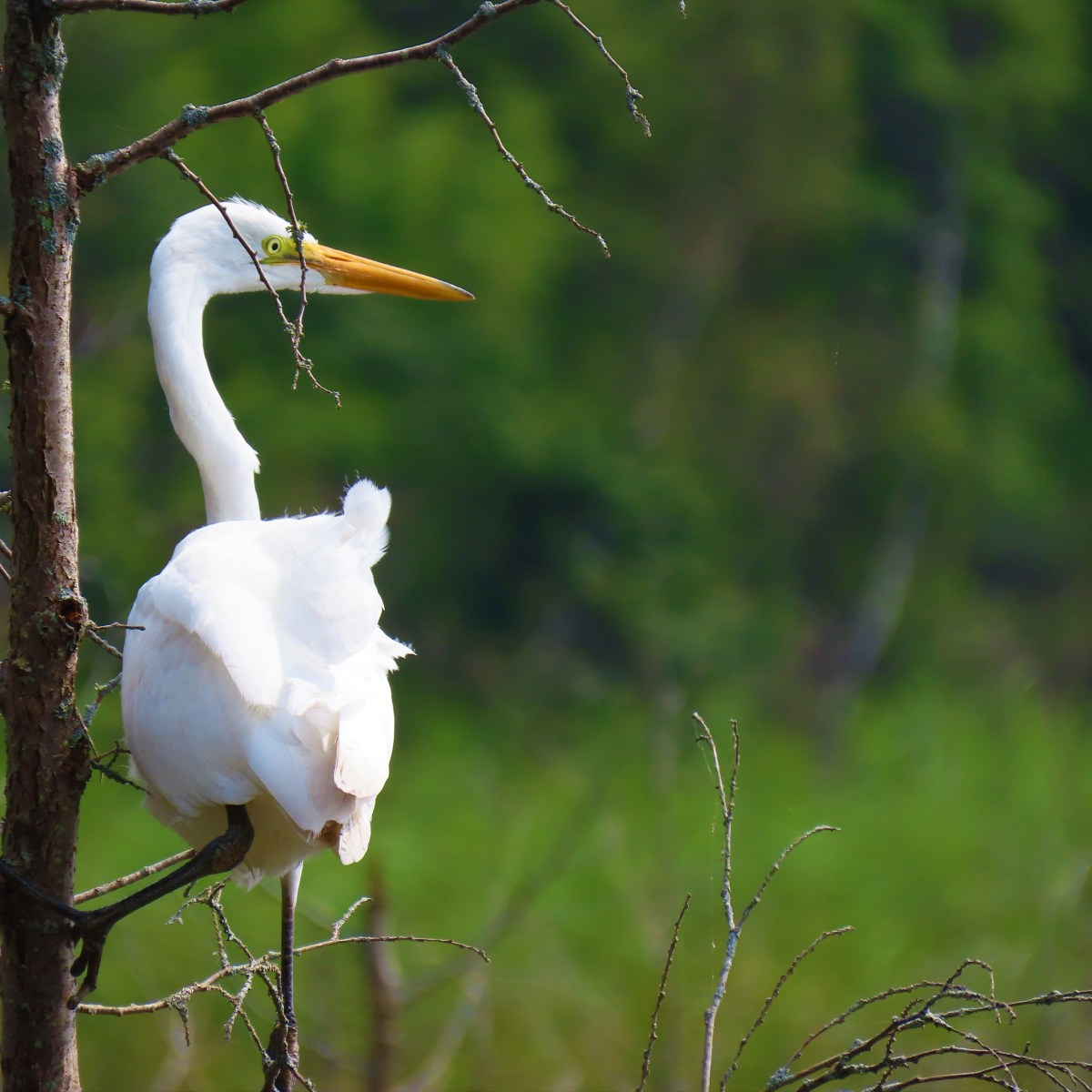 A Great Egret perched on a thin, leafless tree in a wetland
