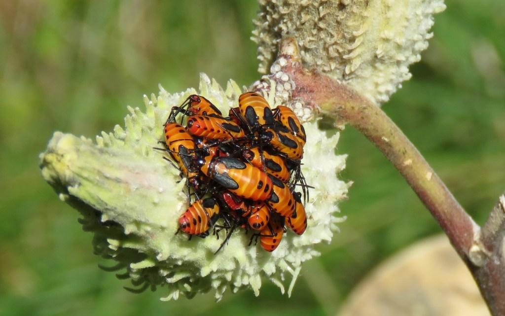 Mikweed Bugs