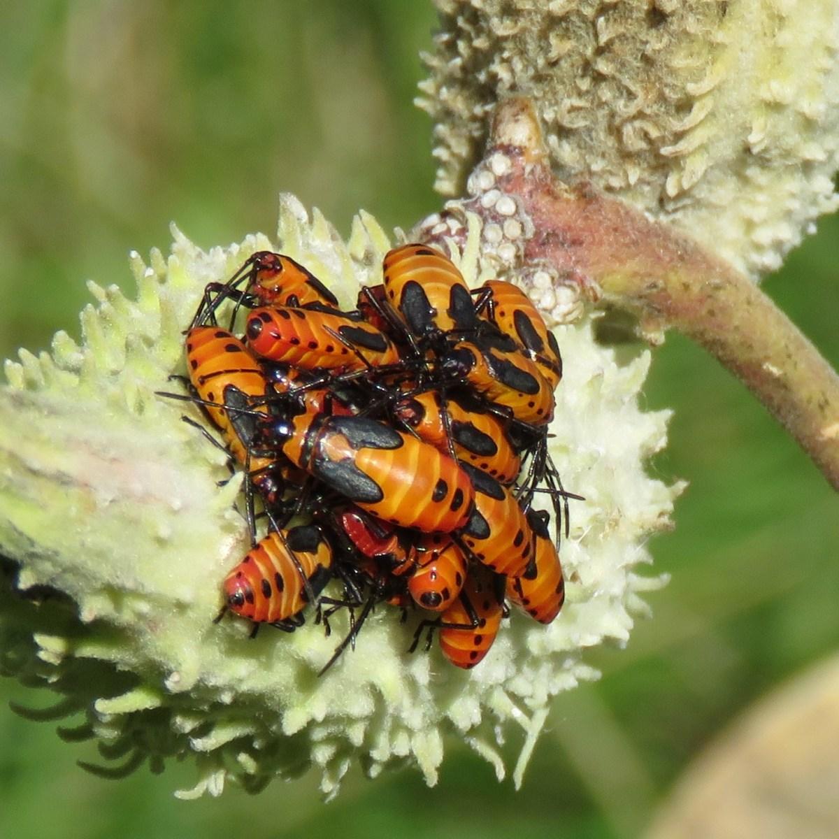 A cluster of Milkweed Bugs on a milkweed plant pod