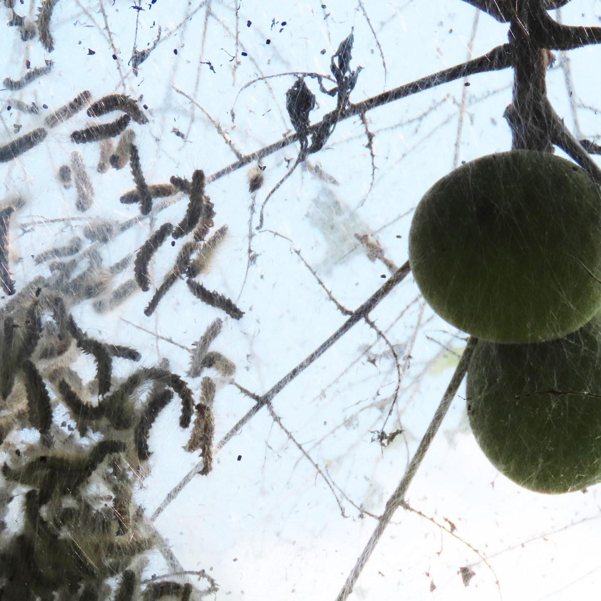 Fall webworms seen through their tent in a black walnut tree