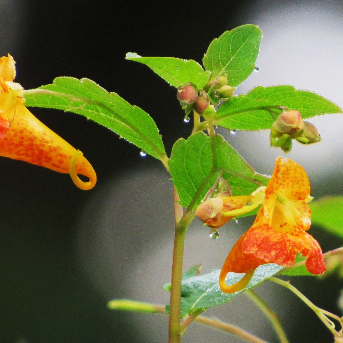 A spotted jewelweed plant covered with drops of dew