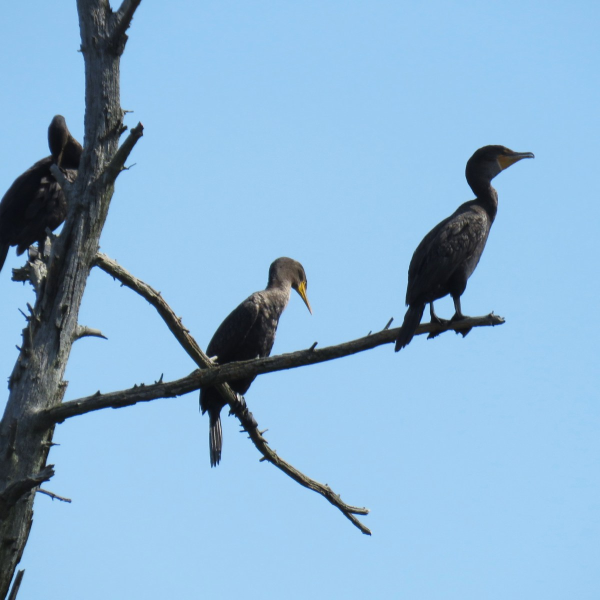 Three cormorants perched in a leafless tree