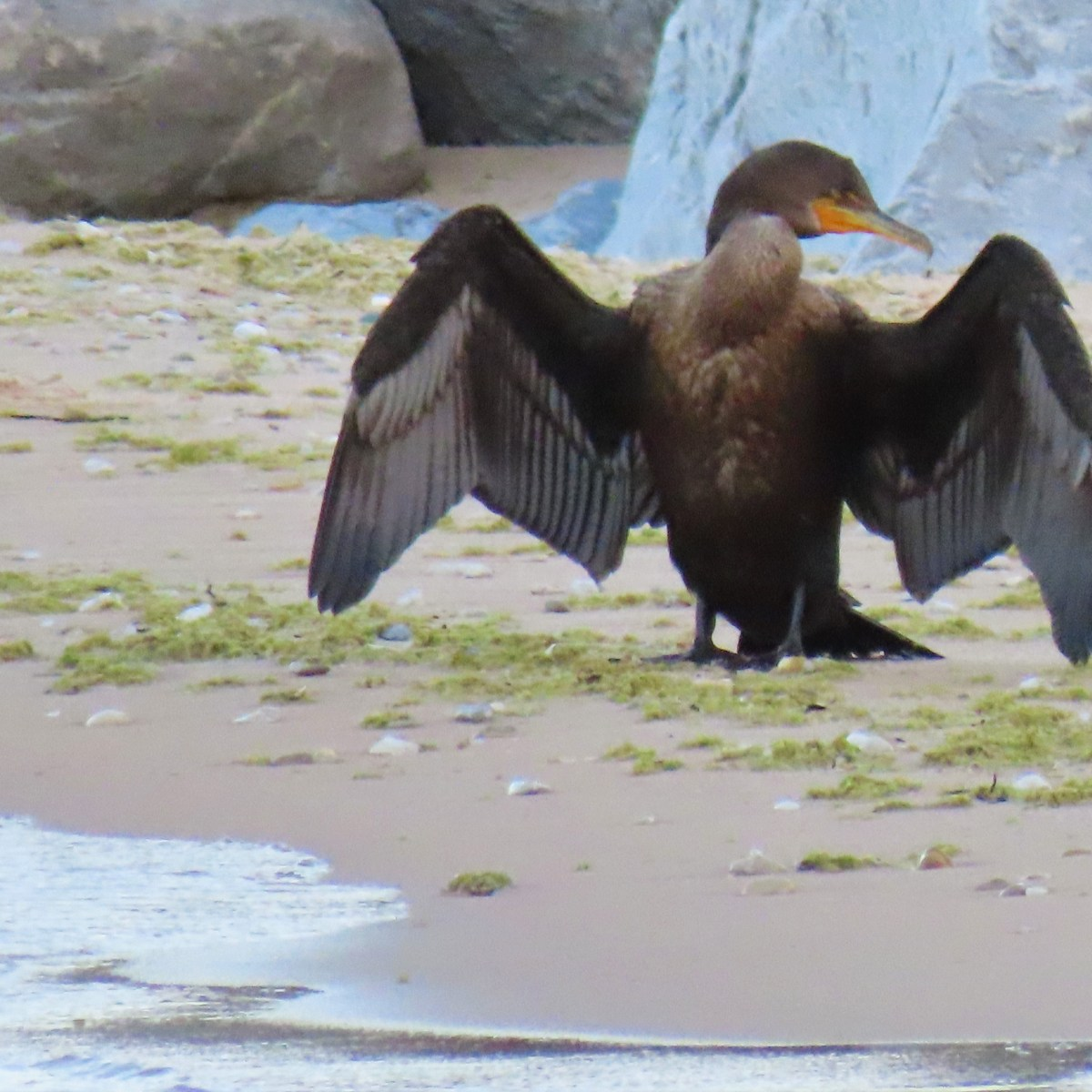 Front view of cormorant with wings spread