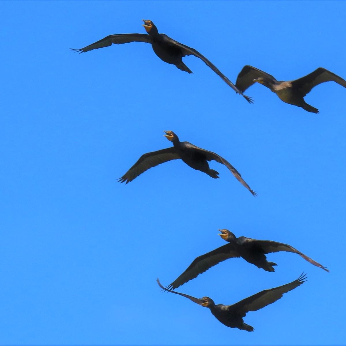 Cormorants flying in blue sky