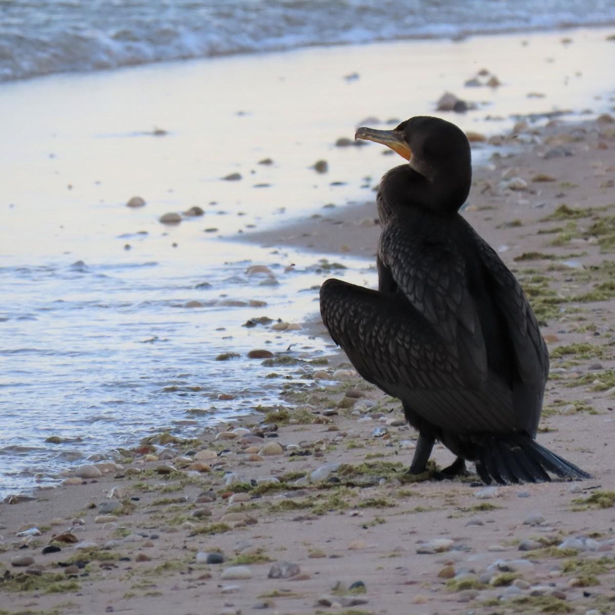 Cormorant on beach